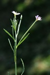 Short-fruited Willowherb (Epilobium obscurum)